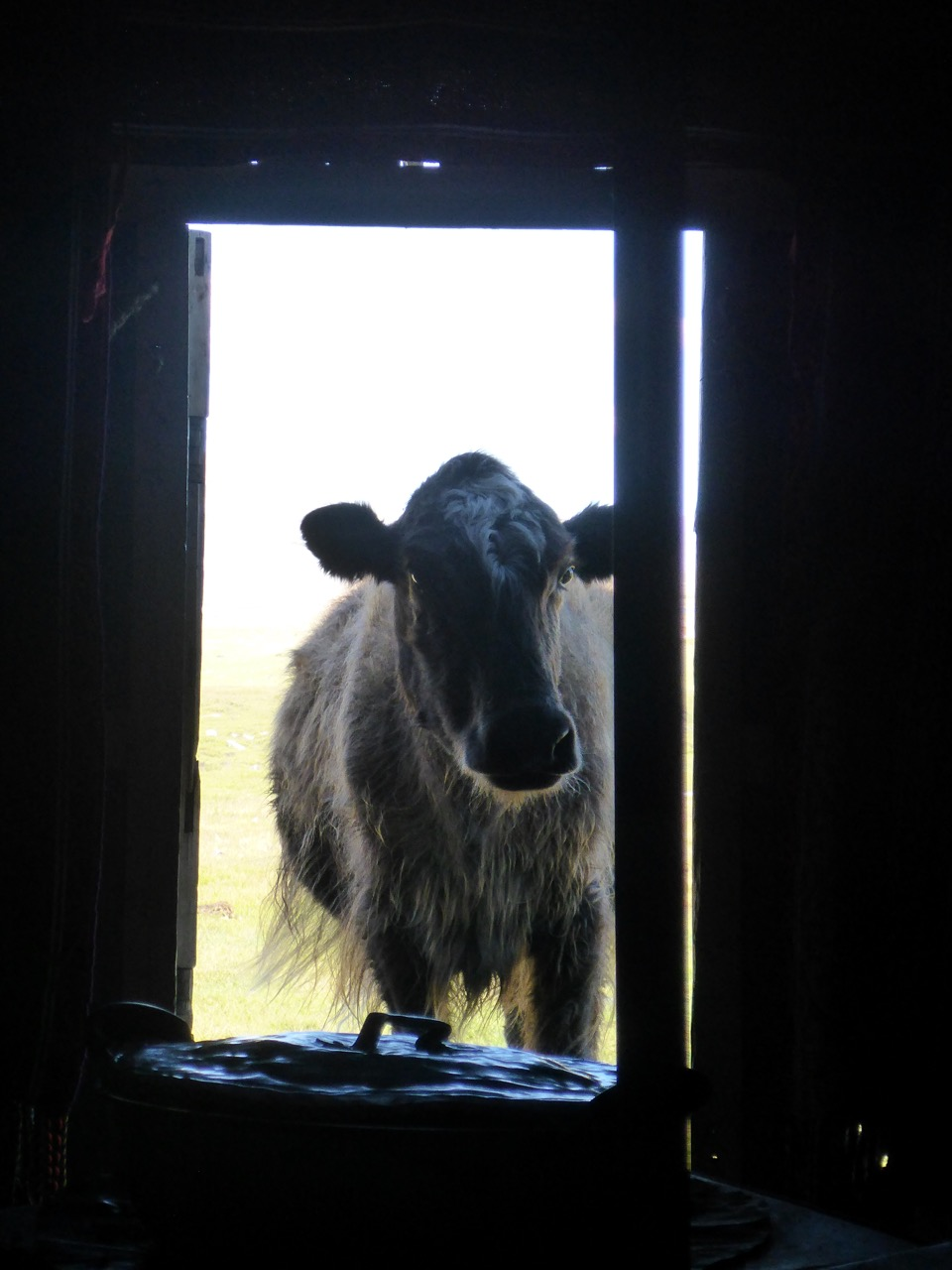 Cow in Doorway Ger Life