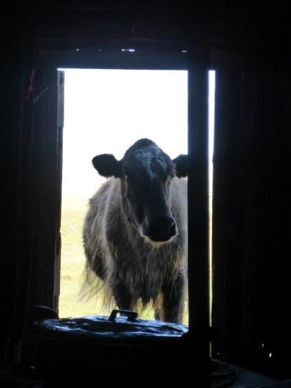 Cow in Doorway Ger Life