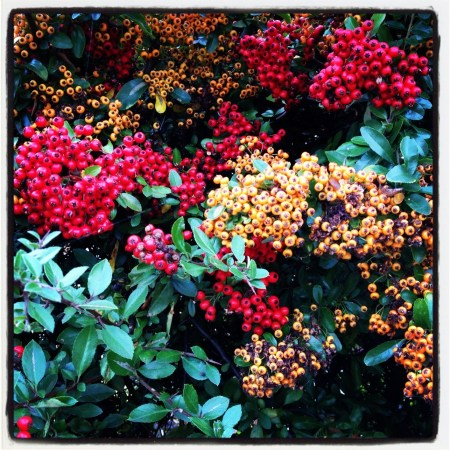 colourful berries