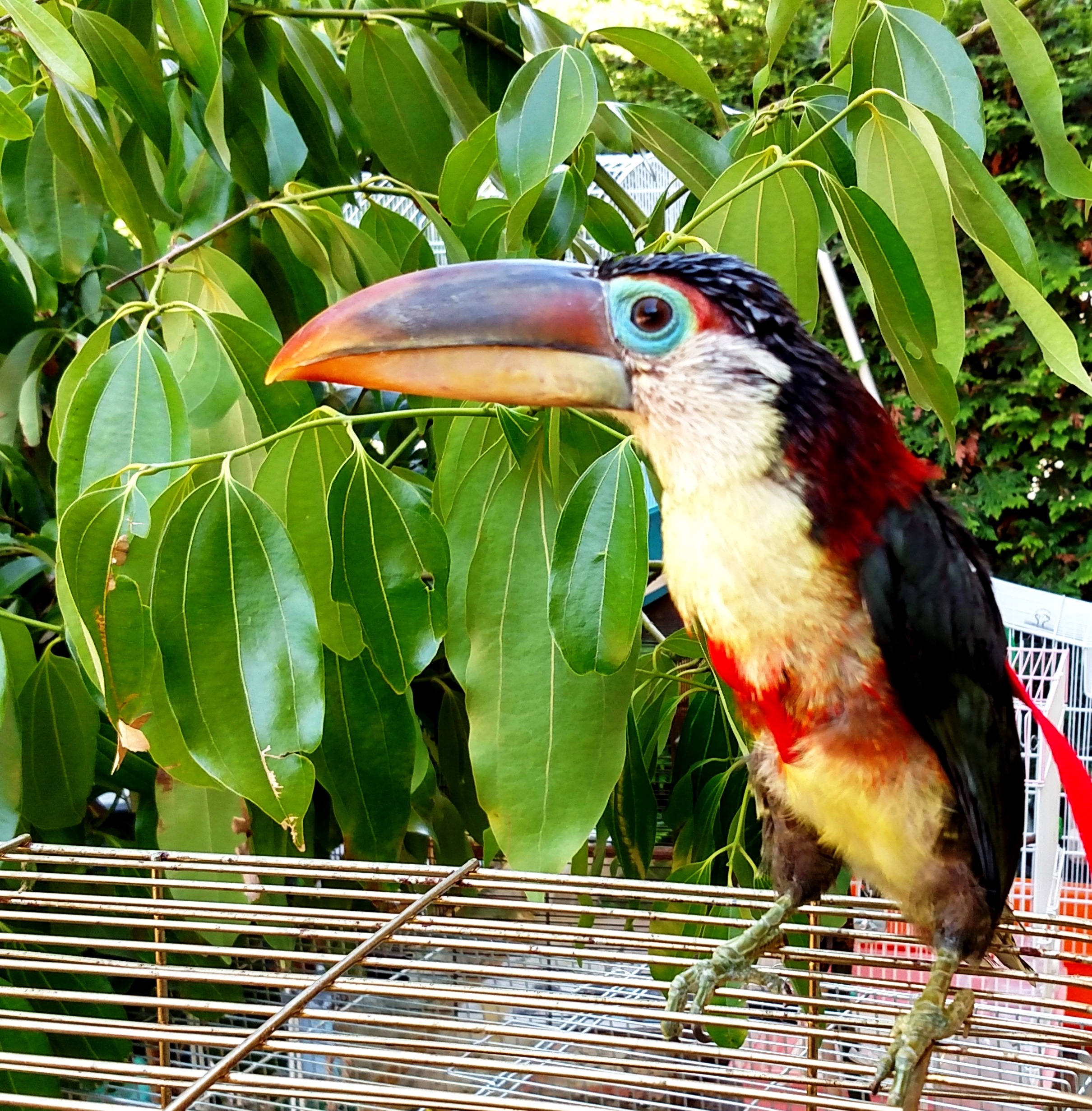 X Small Aviator Harness Works Great for Curl Crested Aracari   Curl Crested Aracari wearing aviator bird harness