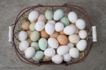 laying hens thebackyardchickenfarmer.com