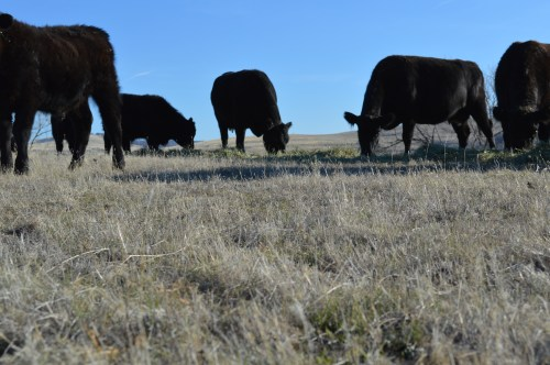 Happy, hay-fed, supplement given, grass left for, Brown Ranch cows.