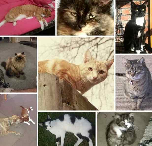 Composite of some of the 50 cats that have been reported missing in the New Zealand town of Timaru in 2016. Photograph: Ashleigh Hicks