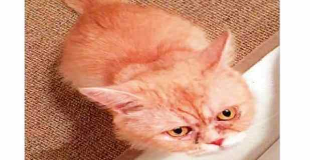 The declawed cat that was rescued by Strays Abu Dhabi volunteers from the Mina area