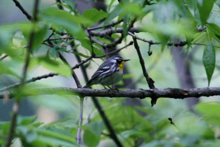 Yellow Throated Warbler4