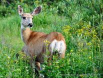 Deer at Gunsight Lake.
