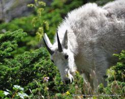 Mountain goat, Gunsight Pass Trail