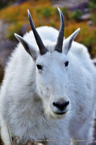 Mountain goat near Lincoln Pass.