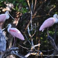 Roseate spoonbills, Tiger Key, Ten Thousand Islands, Everglades.