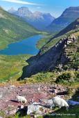 Mountain goats, Gunsight Pass Trail.