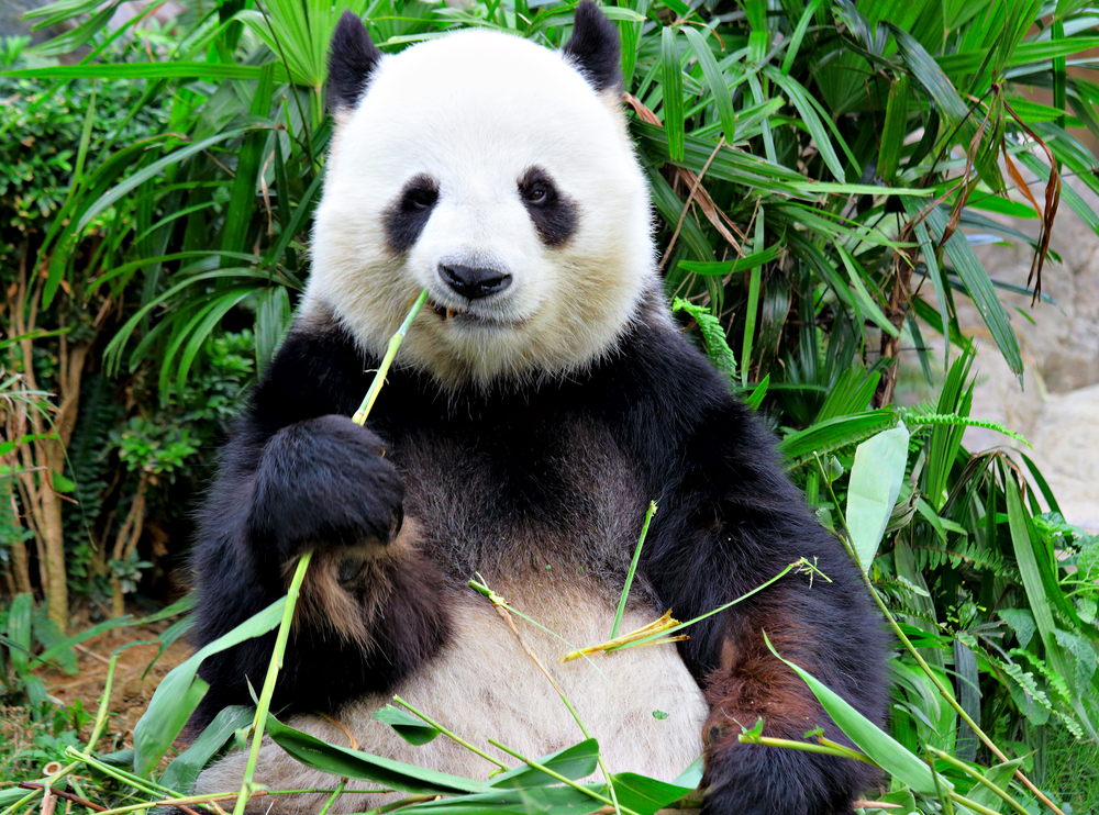 Here's a panda. Because Pandas are awesome. But also because they are indigenous to the Sichuan province.