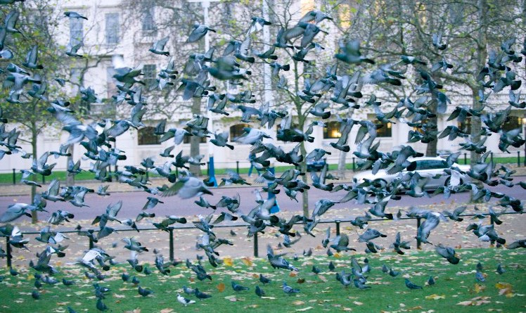 PIGEONS IN ST JAMES PARK TODAY  . REXMAILPIX.