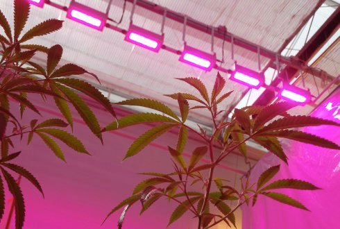 medicinal-cannabis-improves-under-led-lighting