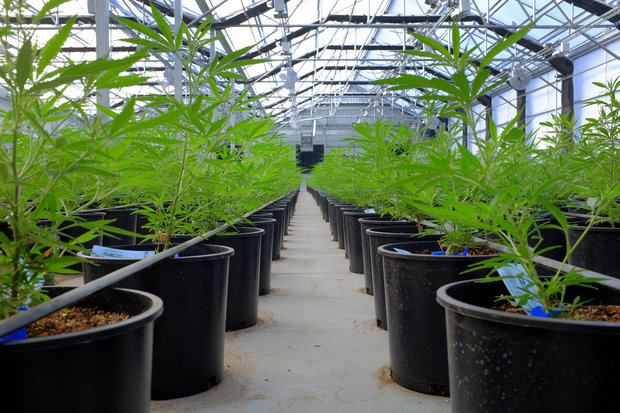 where-legal-marijuana-will-likely-win-today-and-where-it-probably-wont