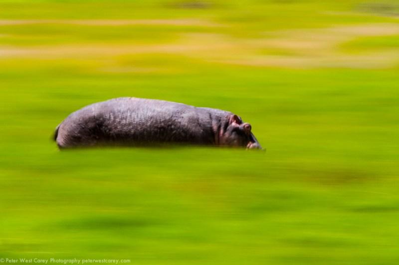 Speedy Hippo