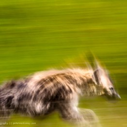 Hyena On The Run, Serengeti National Park, Tanzania