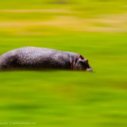 Running Hippo (Hippopotamus amphibius), Ngorongoro Crater, Tanza