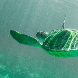 Sea Turtle Gliding Along, Riviera Maya, Mexico