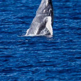 Breaching Baby Humpback Whale, Maui, Hawaii