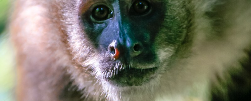 Portrait of Tufted Capuchin - Peru