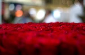 Roses at the Proflora Flower Convention in Bogotá