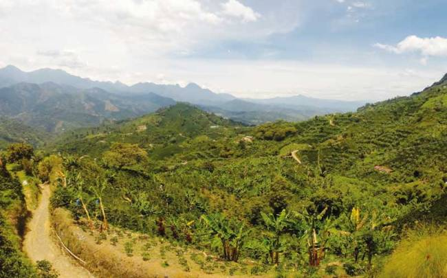 A coffee grove in central Antioquia.