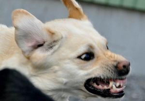 A snarling dog shows aggression.