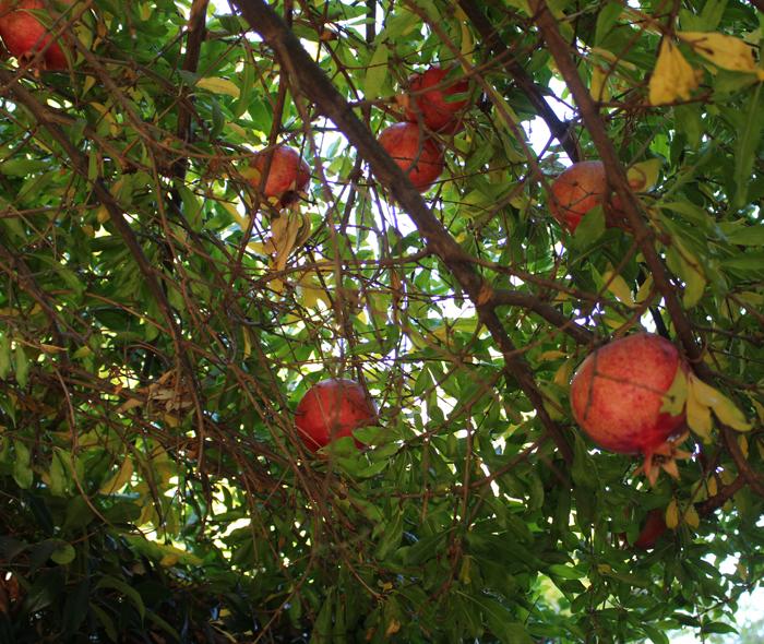 fall-pomegranates