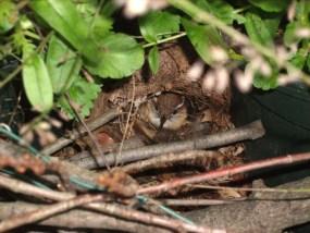 wren sitting on her nest
