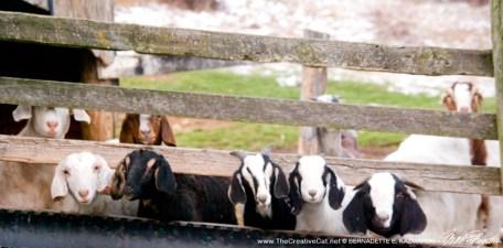 Curious goats.