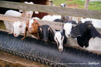 Hungry goats.