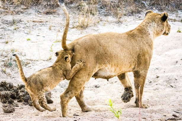 A-lion-cub-follows-its-mother-very-closely