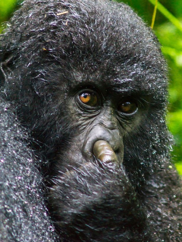 A-mountain-gorilla-is-caught-on-camera-picking-its-nose