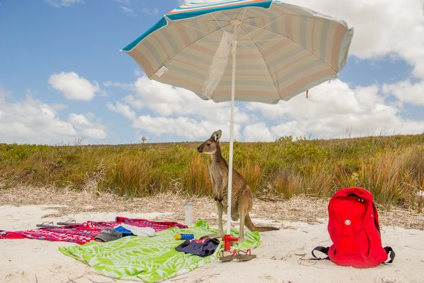 A-regular-beach-day-for-a-kangaroo