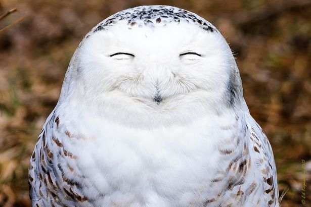 One-very-content-snowy-owl