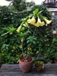 datura-angels-trumpet-curious-gardener