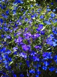 Lobelia – How to Grow