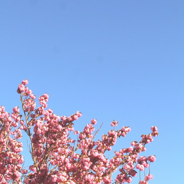 Cherry Blossom against a clear blue sky