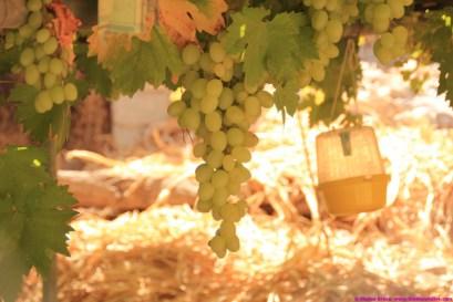 grapes growing in Al Ayn