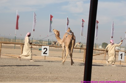 some camels were a bit highly strung after being tied up all morning