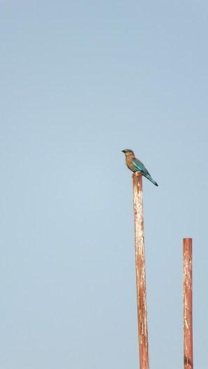 Indian roller bird - particularly beautiful in flight