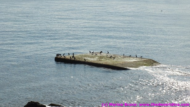 Cormorants drying off after a swim