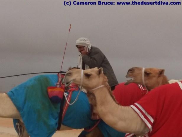 modern camel herding!