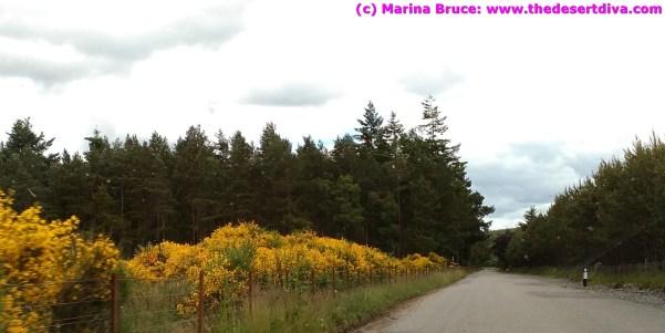 Bright yellow broom blossom lining the roads