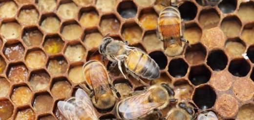 Hive bees courtesy of Professor Stephen Martin University of Salford