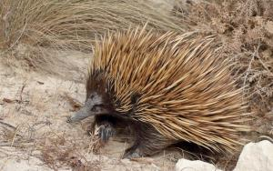 Echidna Venom to Treat Type 2 Diabetes
