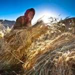 Staking the sheaves pf barley at Lamayuru.