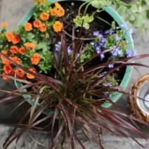 Patio Reveal plant