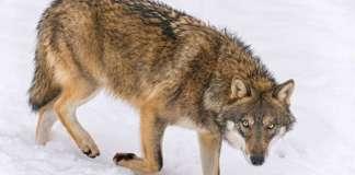 Wolf in snow (Photo credit: Flicker/CC http://bit.ly/1QpKYfx)