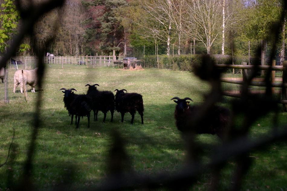 11-shetland_sheep